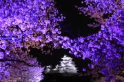 姫路城と夜桜のアーチ