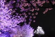 夜桜の彼方の姫路城