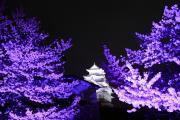 白と紫のコントラスト~姫路城ライトアップ