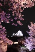 姫路城、夜桜花爛漫