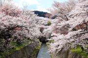 琵琶湖疏水沿いに咲き誇る桜