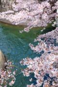 琵琶湖疏水の流れと桜