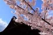 三井寺、青空と桜