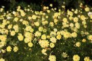 咲き乱れる黄色のコスモス1