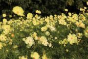 咲き乱れる黄色のコスモス2