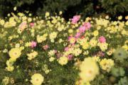 咲き乱れる黄色のコスモス3