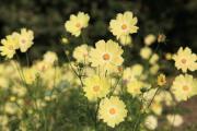 咲き乱れる黄色のコスモス4