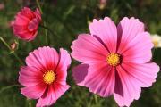 大輪のコスモス(ピンク色)