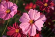 ピンクのコスモス咲く