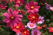咲き誇る色々なコスモス