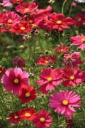咲き乱れる赤いコスモス