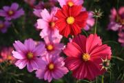 コスモス~赤とピンクのコントラスト~