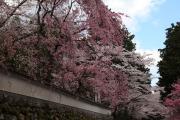 三井寺、色とりどりの桜