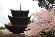 桜と三井寺の三重塔