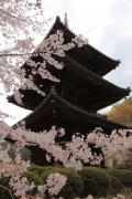 三重塔と桜を見上げる(三井寺)
