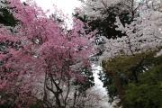 桜咲く三井寺境内