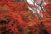 光明寺、一面の紅葉