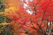 光明寺の「紅葉のトンネル」