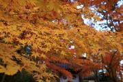 光明寺の黄色い紅葉
