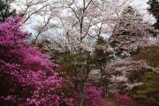 桜と山ツツジ(石山寺)