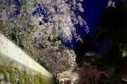 三井寺の夜桜ライトアップ