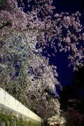 ライトアップされた夜桜(三井寺)