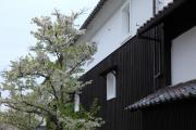 鶴ヶ城下の土蔵と桜