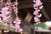 歴史ある門と枝垂れ桜