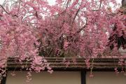 会津若松の枝垂れ桜