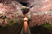 琵琶湖疏水、夜桜のライトアップ