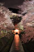 ライトアップされた夜桜(琵琶湖疏水)