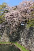 石垣と満開の桜(彦根城)