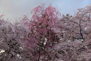 弘前公園を彩る桜