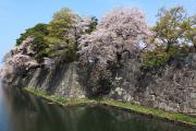 堀と満開の桜(彦根城)