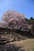 彦根城、石段の桜