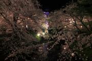 弘前公園、夜空に浮かび上がる桜