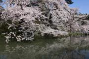 弘前公園、満開の桜