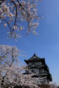 弘前城、青空を彩る桜