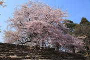 桜満開の春(彦根城)