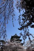 桜咲く弘前城天守閣