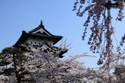 弘前城、満開の桜が彩る天守閣