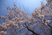 降り注ぐような弘前の枝垂れ桜