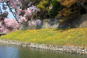 彦根城、春の風景