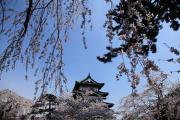 桜と天守閣、弘前の春