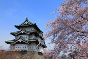 弘前城の春を彩る満開の桜