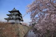 弘前城の春(現存十二天守と満開の桜)