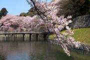 彦根城、橋と桜
