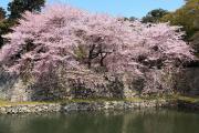 濠と桜(彦根城)