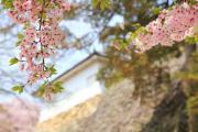 桜景色(彦根城)