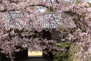 桜と彦根城太鼓門櫓